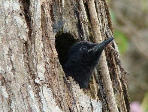 Toto bwa Guadeloupe - Pic noir (oiseau noir Caraibes)